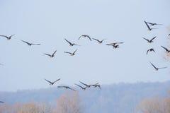 飞行在头顶上反对清楚的蓝天的鹅 免版税库存图片