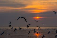 飞行在Bangpu海的小组海鸥在日落期间 库存图片