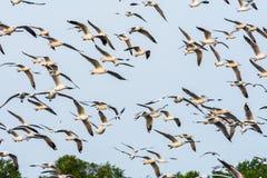 飞行在Bangpu海的小组海鸥 免版税图库摄影