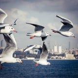 飞行在bosphorus的海鸥在伊斯坦布尔土耳其 免版税库存图片