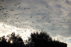 飞行在cloudly天空的许多鸟 库存照片