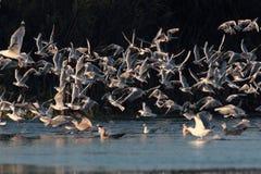 飞行在Nebunu湖的海鸥在日落 库存照片