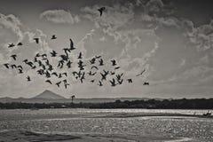 飞行在noosa河的海鸥 免版税库存照片