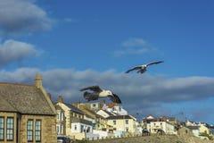 飞行在Porthlevan捕鱼港口的海鸟 库存图片