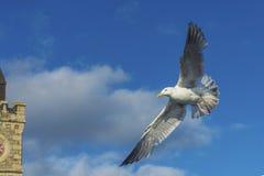 飞行在Porthlevan捕鱼港口的海鸟 免版税库存图片