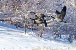 飞行在Winter湖的三只加拿大鹅 免版税库存图片