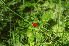 飞行坐野草莓一个红色莓果在森林里 库存图片