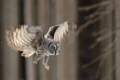 飞行大巨大灰色猫头鹰在森林,选拔与开放翼的鸟 库存照片