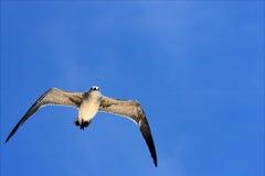飞行天空的海鸥在墨西哥 免版税库存图片
