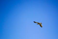 飞行天空的鸟 免版税库存照片