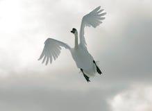 飞行天鹅 库存照片