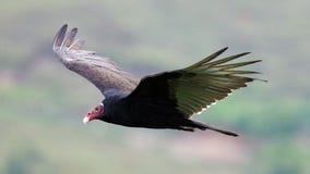 飞行寻找牺牲者,净化剂的火鸡兀鹰鸟在哥斯达黎加的天空 免版税库存图片