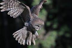 飞行巨大灰色猫头鹰 库存照片
