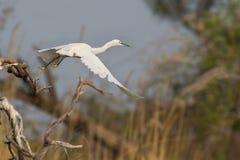 飞行巨大白色的白鹭 免版税库存图片
