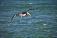 飞行布朗鹈鹕, Pelecanus occidentalis, Paracas -秘鲁 免版税库存图片