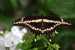 飞行往下面浏览器的蝴蝶巨型heraclides swallowtail thoras 库存照片