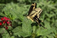 飞行往下面浏览器的蝴蝶巨型heraclides swallowtail thoras 免版税图库摄影