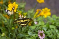 飞行往下面浏览器的蝴蝶巨型heraclides swallowtail thoras 库存图片