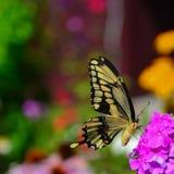 飞行往下面浏览器的蝴蝶巨型heraclides swallowtail thoras 免版税库存图片