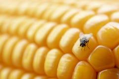 飞行或飞行吃玉米 库存图片