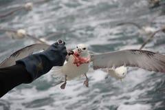 飞行捉住他们的牺牲者的海鸥尝试 免版税库存照片
