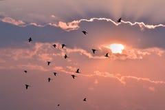 飞行日落的鸟 免版税库存照片