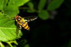 飞行是象黄蜂,坐一片绿色叶子 宏指令 免版税库存图片