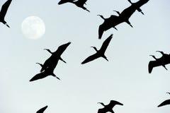 飞行月亮剪影的鸟 免版税库存图片