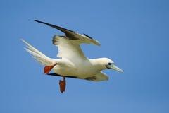飞行有脚的红色的笨蛋 免版税库存图片
