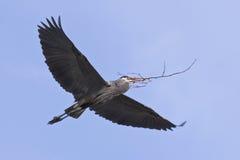 飞行极大的苍鹭的蓝色飞行 库存图片