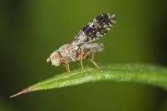 飞行果子叶子坐的tephritidae 库存图片