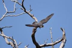 飞行树的一只旅游猎鹰 免版税库存图片