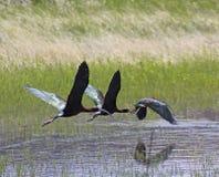 飞行横跨池塘的三只面无血色的朱鹭鸟 库存图片