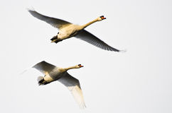 飞行在白色背景的对疣鼻天鹅 库存照片