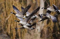 飞行横跨秋天森林的加拿大鹅 免版税图库摄影