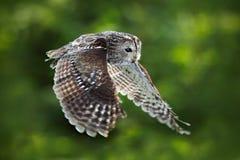 飞行欧亚黄褐色的猫头鹰,猫头鹰类aluco,与好的绿色被弄脏的森林在背景中 行动从欧洲人的野生生物场面 免版税图库摄影