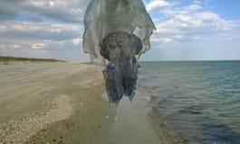 飞行水母 Rhizostoma pulmo或corneroht 免版税库存图片
