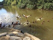 飞行沼泽鸭子 库存图片