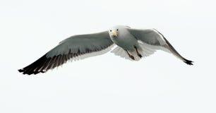 飞行海带鸥(鸥属dominicanus) 免版税图库摄影