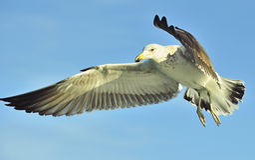 飞行海带鸥(鸥属dominicanus) 免版税库存照片