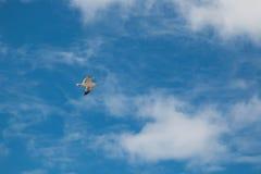飞行海鸥和天空 免版税库存照片