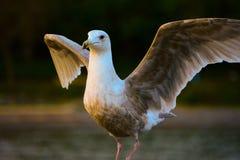 飞行海鸥采取 免版税库存照片