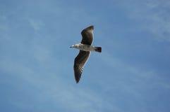 飞行海鸥,圣塔蒙尼卡海滩,加利福尼亚,美国 库存照片
