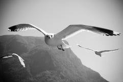 飞行海鸥 图库摄影