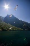 飞行海鸥sognefjord 免版税库存图片