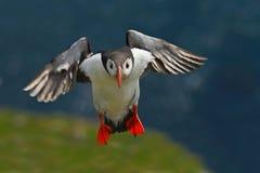 飞行海鹦 在岩石峭壁的逗人喜爱的鸟 大西洋海鹦, Fratercula artica,与红色票据sitt的北冰的黑白逗人喜爱的鸟 免版税图库摄影