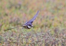 飞行燕子红喉刺莺的白色 免版税库存图片