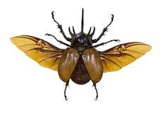 飞行犀牛在白色隔绝的褐色甲虫 免版税库存照片