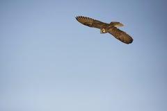 飞行猎鹰 免版税图库摄影