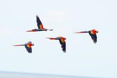 飞行猩红色的金刚鹦鹉,雄鸭海湾, corcovado,哥斯达黎加 免版税库存图片